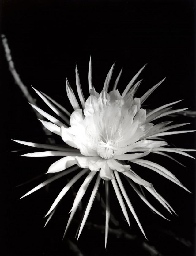 Цветущий кактус, около 1930. Фотограф Имоджен Каннингем