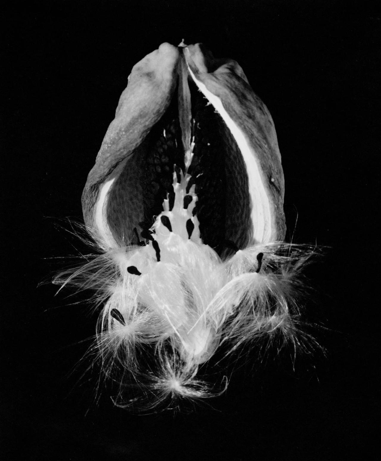 Стручок и семя аруджи, 1940. Фотограф Имоджен Каннингем