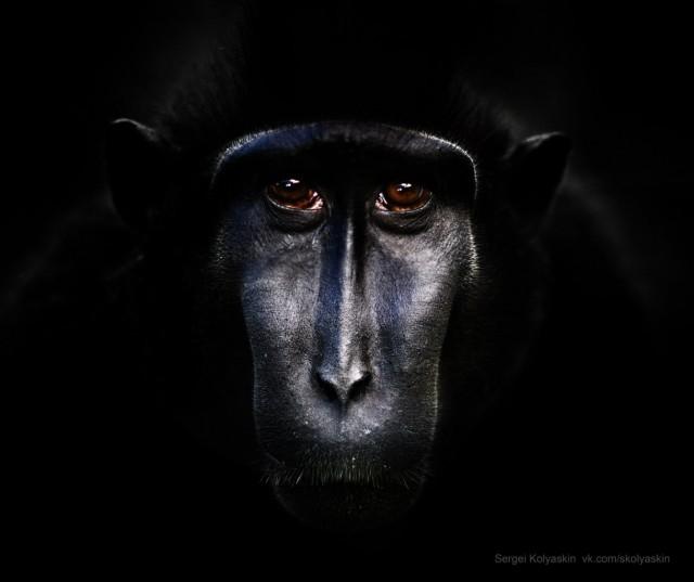 Black macaques. Endangered species portrait. Photographer Sergey Kolyaskin