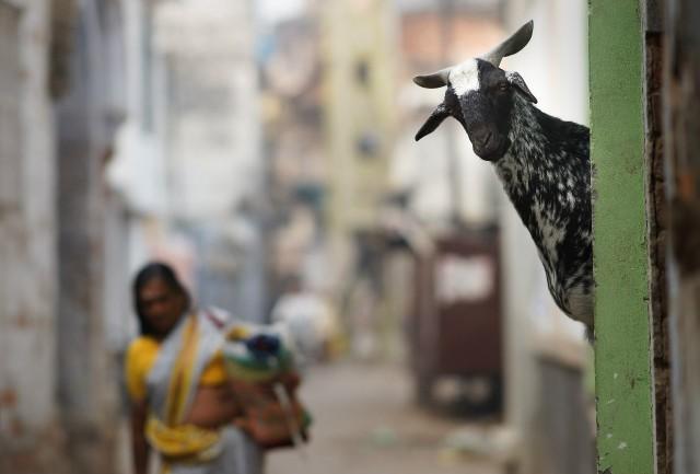 Kind goat, India. Photographer Sergey Kolyaskin