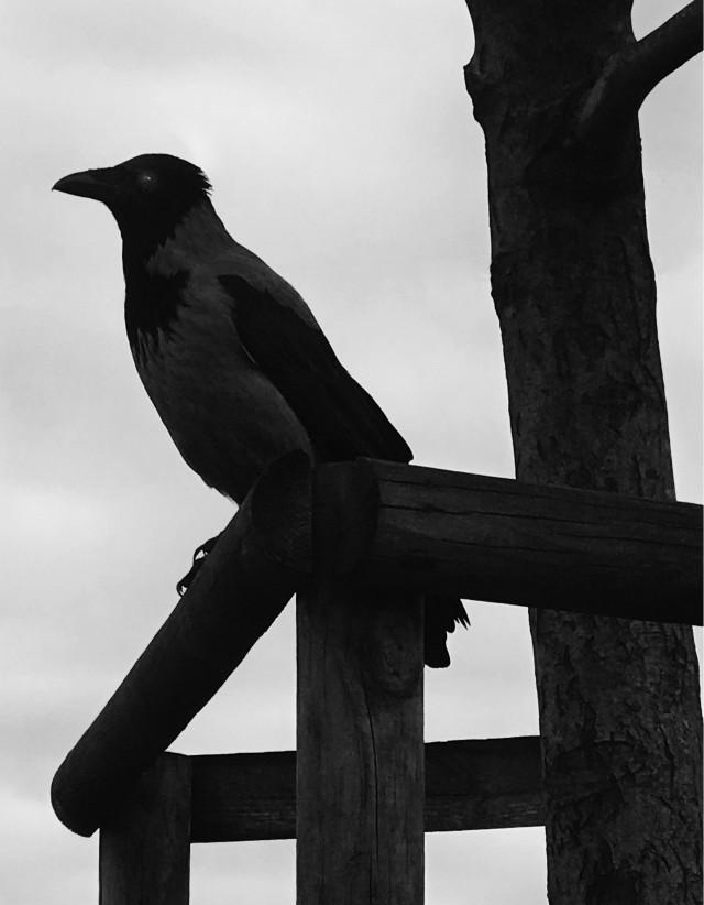 Ворона, 2018. Фотограф Флор Гардуньо