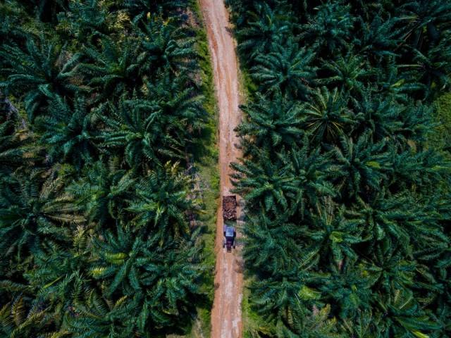 Пальмовые плантации для производства пальмового масла. Малайзия. Фотограф Паскаль Мэтр