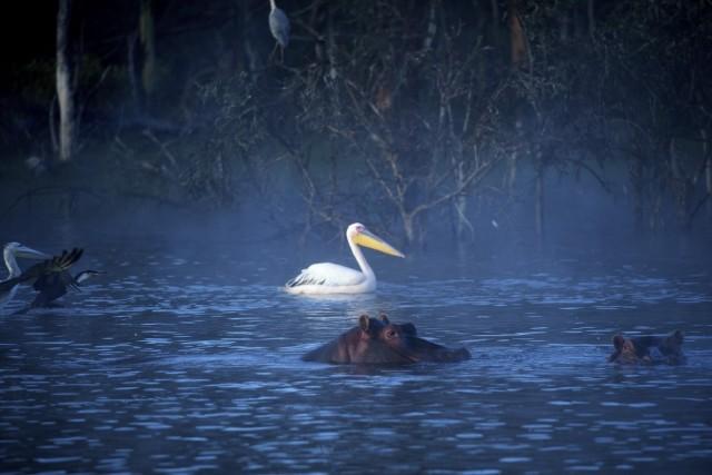 Птицы и гиппопотамы на рассвете. Озеро Найваша, Кения. Фотограф Паскаль Мэтр