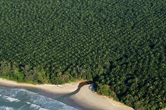 Плантация масличной пальмы, Саравак, Малайзия. Фотограф Паскаль Мэтр