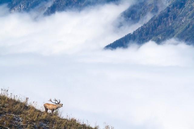 Ревущий олень. Автор Александр Перевозов