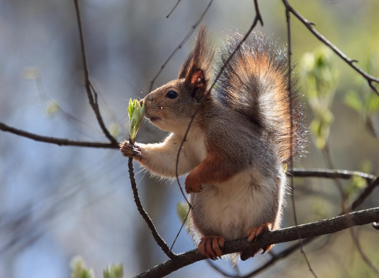 Номинант, 2021. «Вдыхая аромат весны». Белка нюхает молодую веточку дерева. Автор Yana Kern