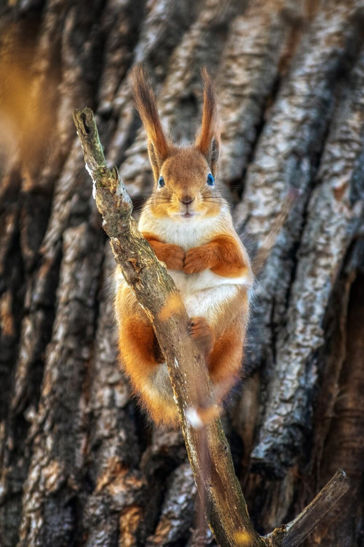 Номинант, 2021. «Наблюдатель». Белка в лесах под Тамбовом. Автор Валерий Горбунов
