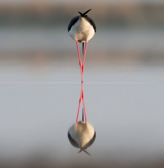 Номинация «Птицы». «Симметрия». Ходулочник на озере в Ставропольском крае. Автор Антон Мостовенко