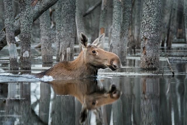 Абсолютный победитель конкурса «Дикая природа России». «Плывущий по лесу». Автор Дмитрий Вилюнов