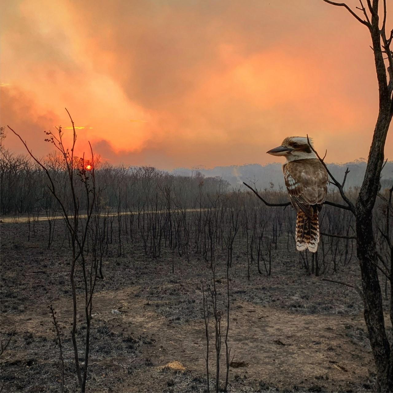 Лауреат категории «Национальная премия», Австралия, 2020. Кукабурра и апокалиптический пейзаж после пожаров в Новом Южном Уэльсе. Автор Адам Стивенсон
