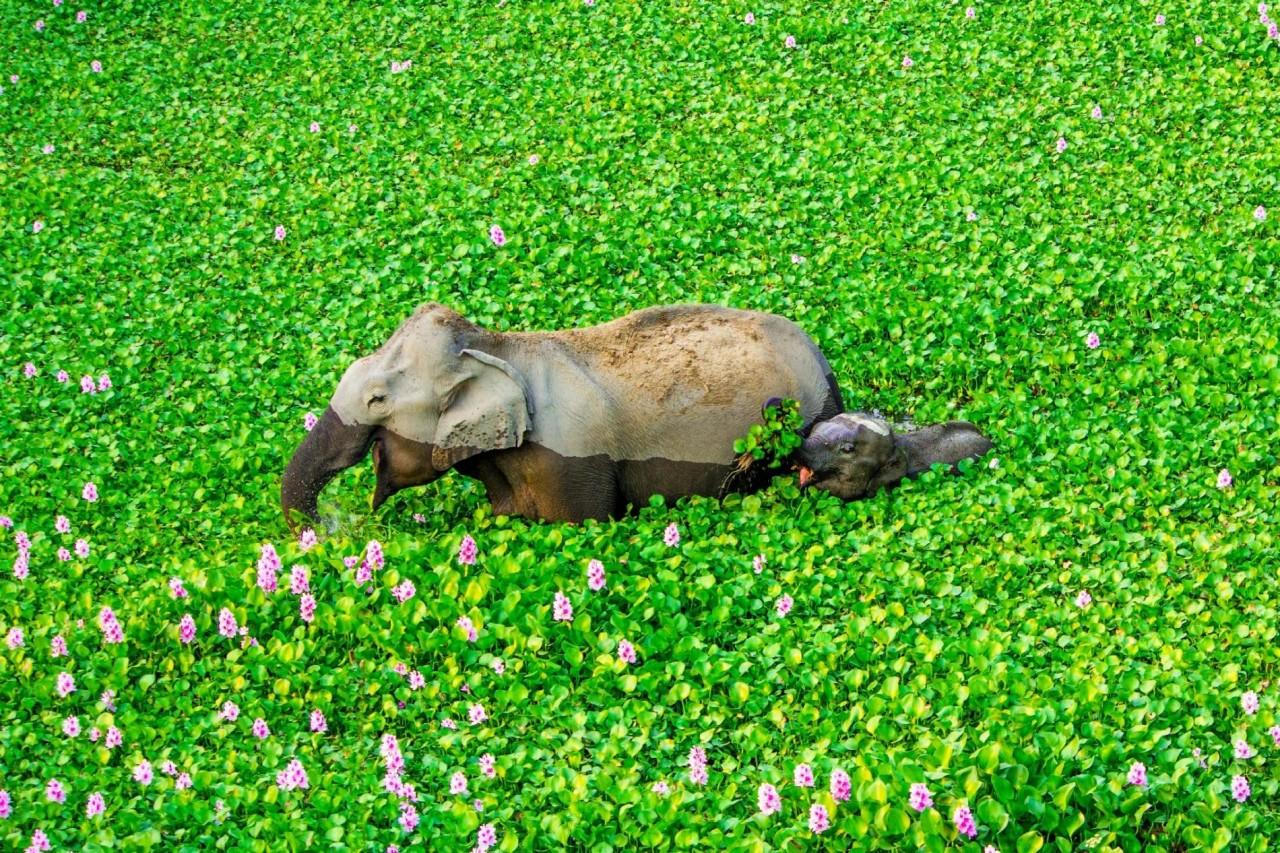«Улыбка до ушей». Слоны среди цветущего водяного гиацинта на реке в Северо-Восточной Индии. Автор Кунал Гупта