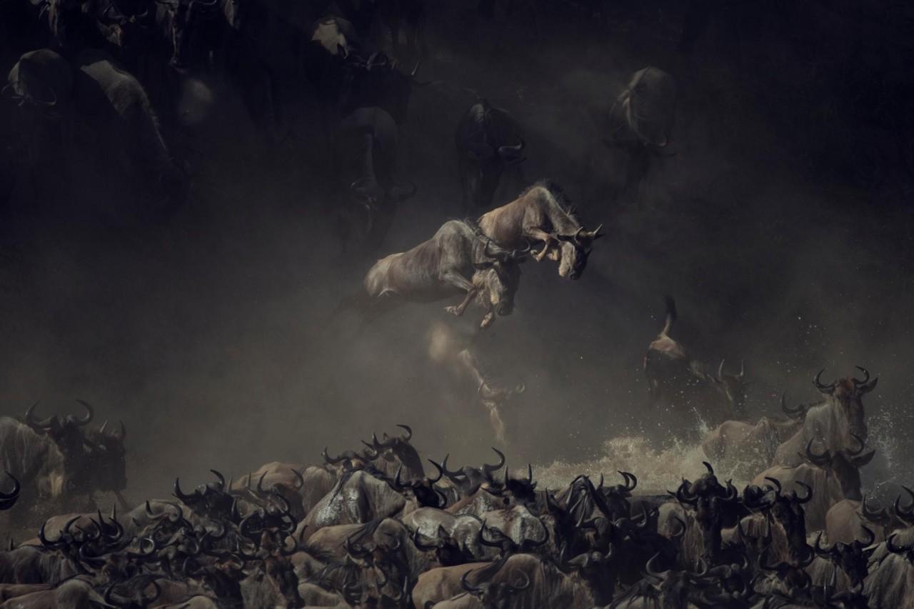 Антилопы гну пересекают реку Мара в Танзании. Автор Пим Волкерс