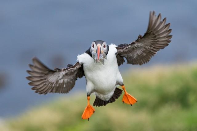 Атлантический тупик с полным клювом рыбок летит к птенцам в Восточной Исландии. Автор Дэниел Т. Йи
