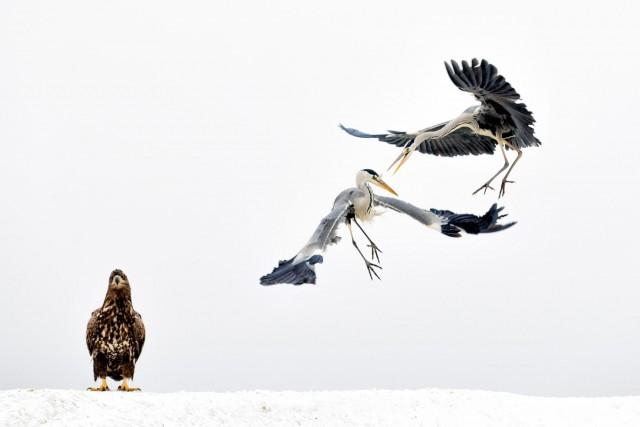 Две серые цапли и орлан-белохвост в Венгрии. Автор Бенс Мате