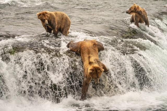 Медведь ловит лосося на водопаде Брукс в национальном парке Катмай, штат Аляска. Автор Тейлор Томас Олбрайт