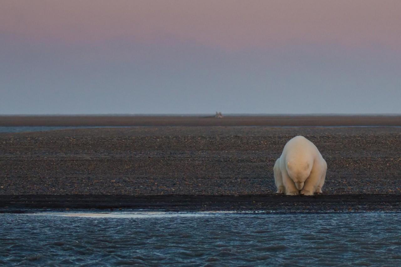 Одинокий белый медведь на острове Бартер, Аляска. Автор Пэтти Уэймайр
