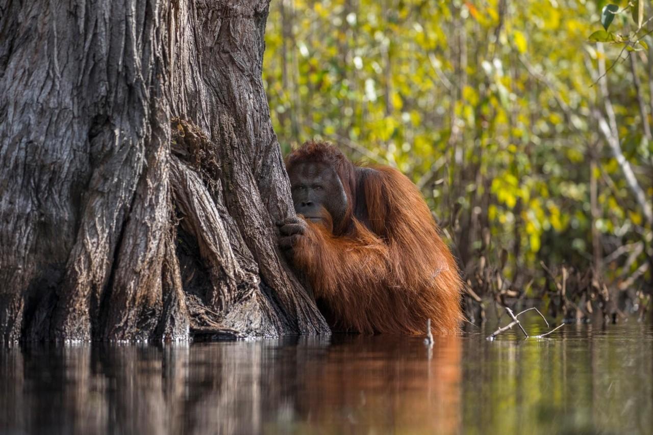 Орангутан пересекает кишащую крокодилами реку на Борнео, Индонезия. Автор Джаяпракаш Джоги Боян
