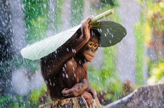 Орангутан под дождём на Бали, Индонезия. Автор Эндрю Сурёно