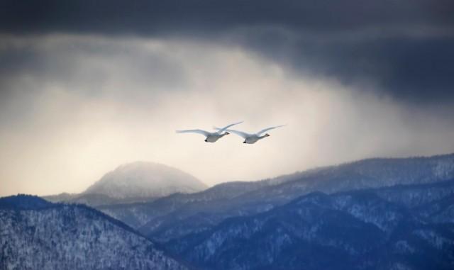 Пара лебедей в утреннем тумане. Автор Гэ Сяо