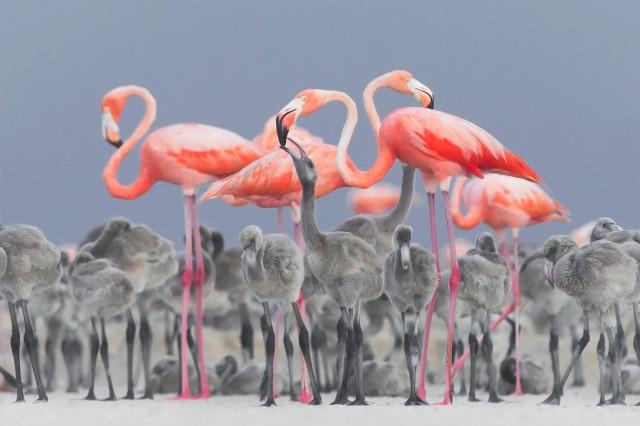Фламинго кормят своих птенцов. Юкатан, Мексика. Автор Алехандро Прието