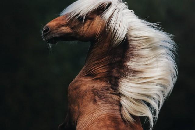Шетлендский пони. Автор Тильда Йосефссон