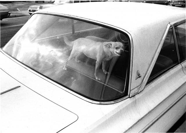 Собака в автомобиле. Лос-Анджелес, 1971. Фотограф Гэри Крюгер
