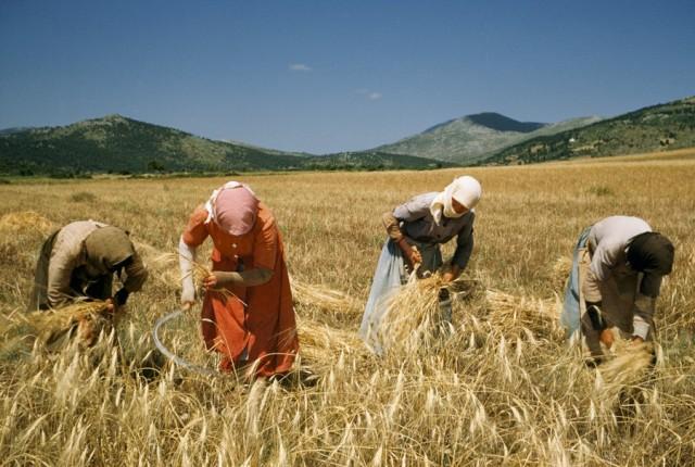 Женщины жнут пшеницу серпами, 1956. Фотографы Франк и Джин Шор