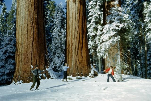 Лесные великаны. Туристы резвятся в национальном парке «Секвойя», Калифорния, 1951. Фотограф Эндрю Х. Браун