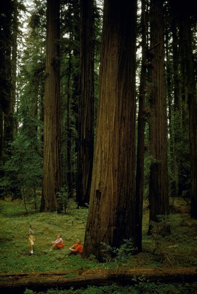 Роща секвой, Калифорния, 1954. Фотограф Дж. Бейлор Робертс