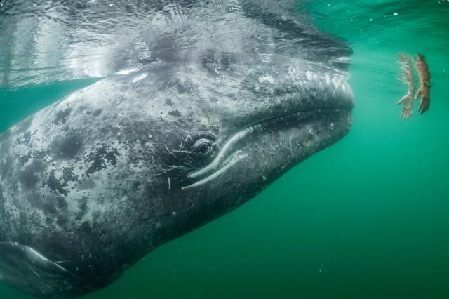 Любопытный молодой серый кит приближается к паре рук, протянутых из туристической лодки в лагуне Сан-Игнасио, Мексиканский залив, Нижняя Калифорния. Автор фото Томас Песчак