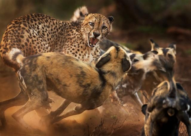 На одинокого самца гепарда нападает стая гиеновидных собак в частном заповеднике в провинции Квазулу-Натал, ЮАР. Автор фото Питер Хейгарт