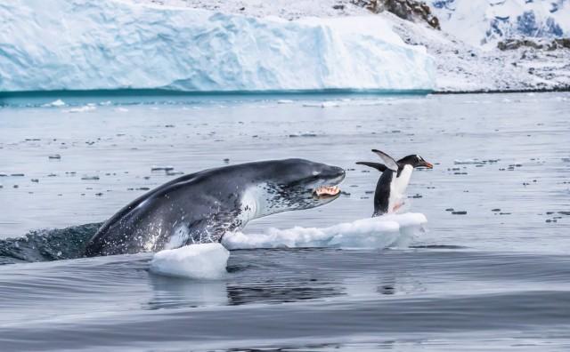 Папуанский пингвин – самый быстрый пловец из всех пингвинов – спасается от леопардового тюленя. Автор фото Эдуардо Дель Аламо