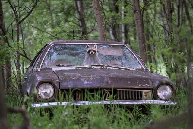 Постоянно адаптирующийся енот в Ford Pinto 1970-х годов на заброшенной ферме в провинции Саскачеван, Канада. Автор фото Джейсон Бантл