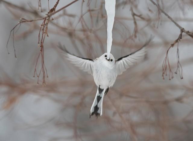Холодным утром на японском острове Хоккайдо стая длиннохвостых синиц собралась вокруг свисающей с ветки длинной сосульки, по очереди покусывая её кончик. Автор фото Диана Ребман