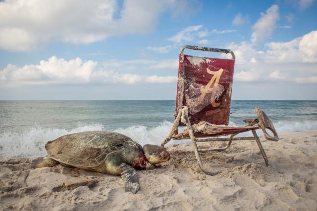 Черепаха умерла, запутавшись в верёвке, привязанной к выброшенному на берег шезлонгу в заповеднике дикой природы Бон Секур, штат Алабама. Автор фото Мэтью Уэйр