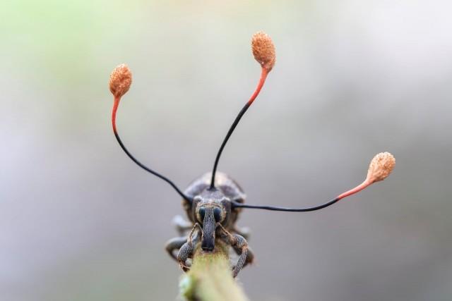 Этот долгоносик мёртв, а три усиковидных выступа – плоды паразитирующего «зомби-гриба», захватившего контроль над его мышцами. Автор фото Фрэнк Дешандол