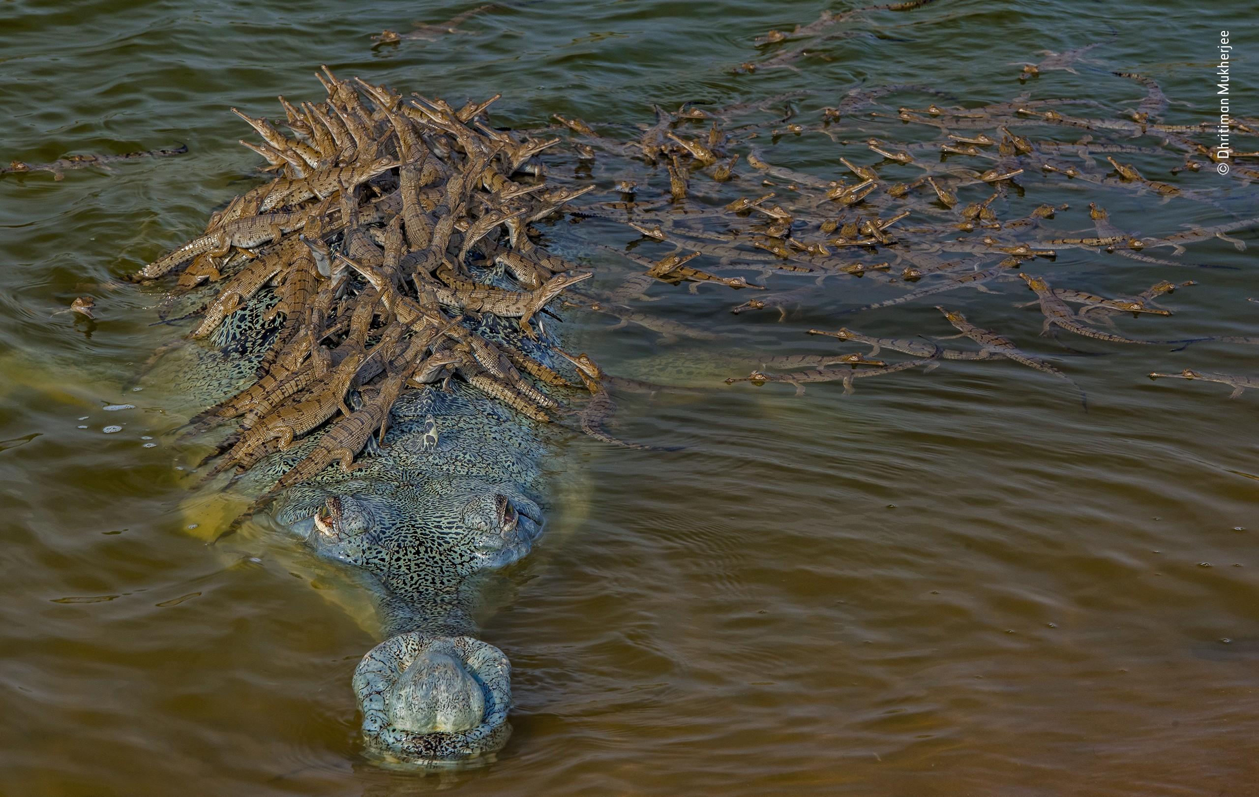 «Поведение: Амфибии и рептилии», 2020. Четырёхметровый самец гавиала с потомством. Автор Дхритиман Мукерджи