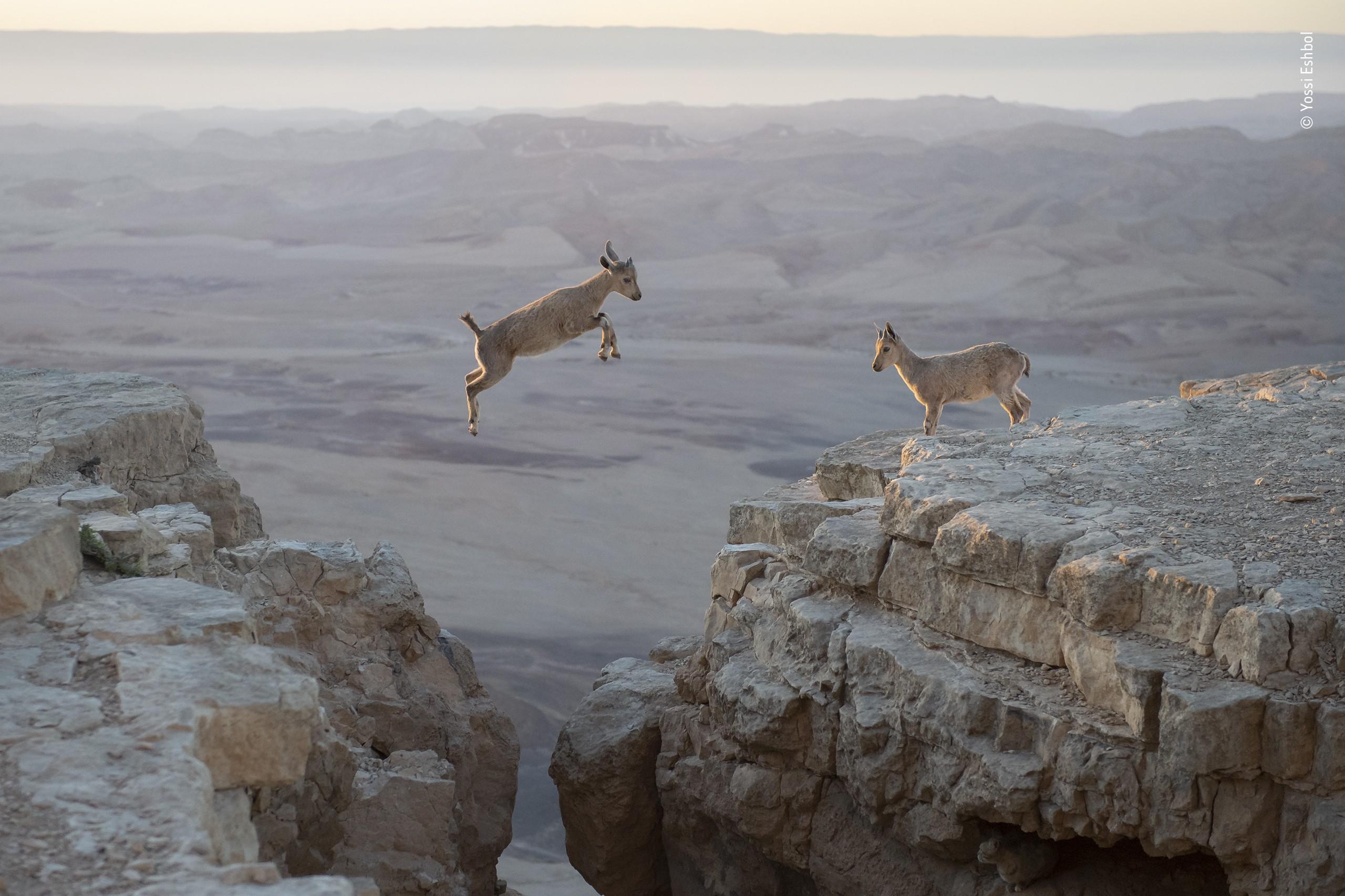 «Поведение: Млекопитающие», 2020. «Детские шалости». Нубийские горные козлики. Автор Йосси Эшбол