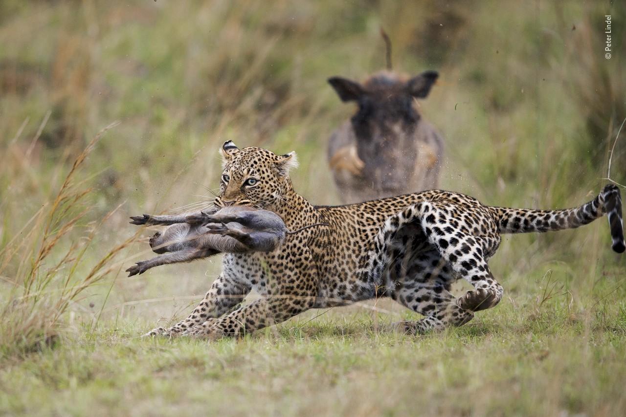 «Поведение: Млекопитающие». Леопард, схвативший поросёнка бородавочника. Автор Питер Линдел