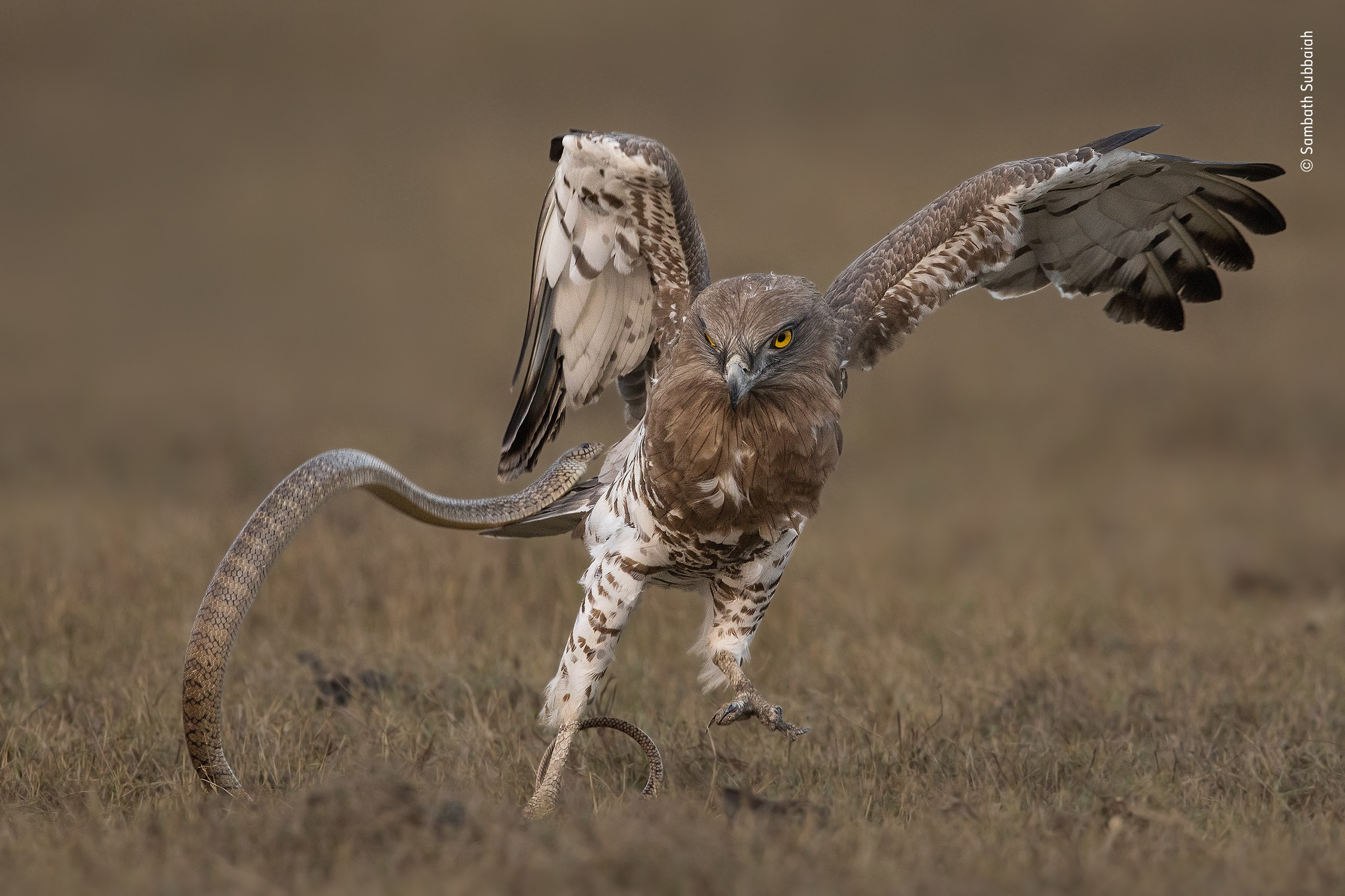«Поведение: Птицы», 2020. Орёл-змееяд и индийская крысиная змея. Автор Самбат Суббаия