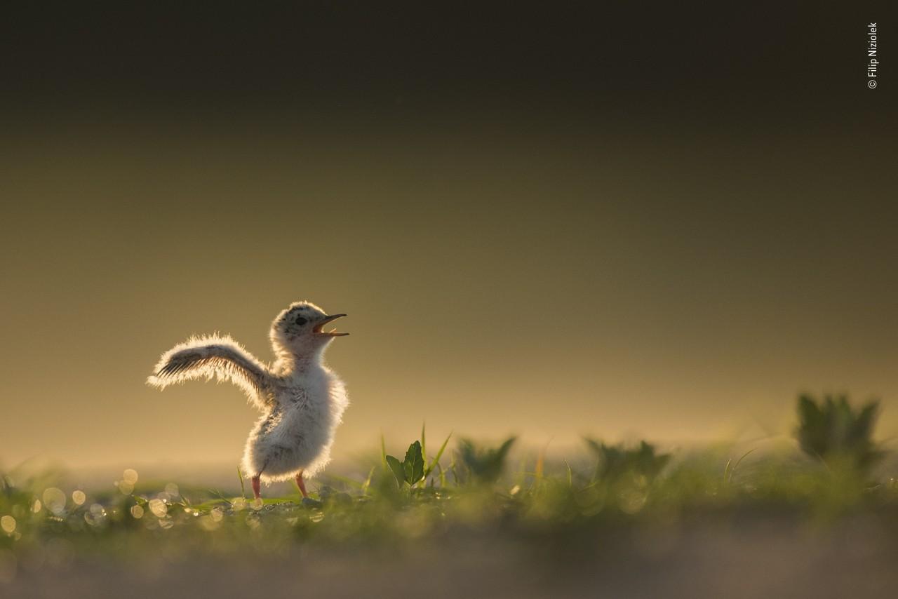 «Юный фотограф дикой природы 10 лет и младше», 2020. Птенец крачки. Автор Филип Низиолек