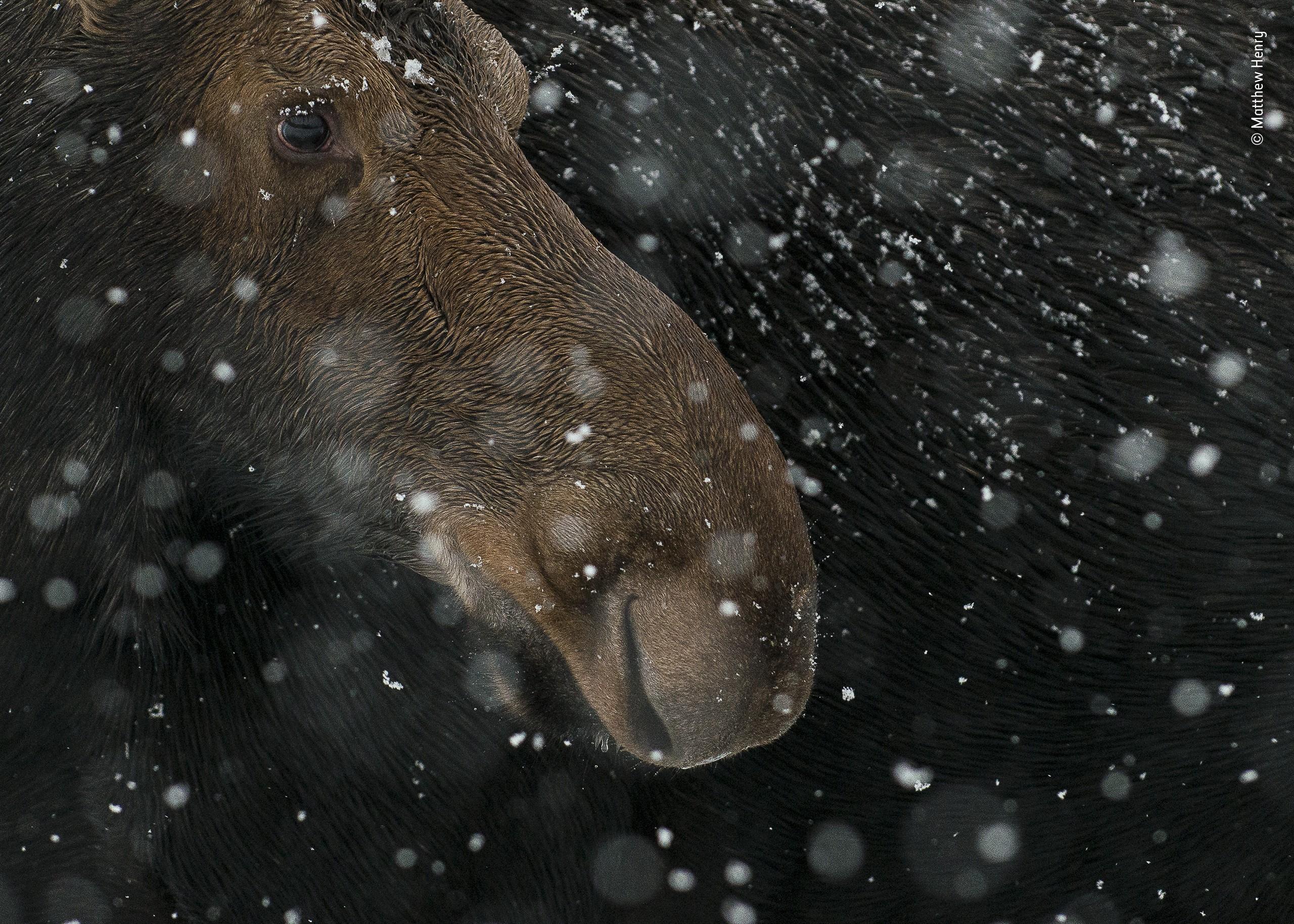 Категория молодые фотографы 15-17 лет, 2020. «Снежный лось». Автор Мэтью Генри