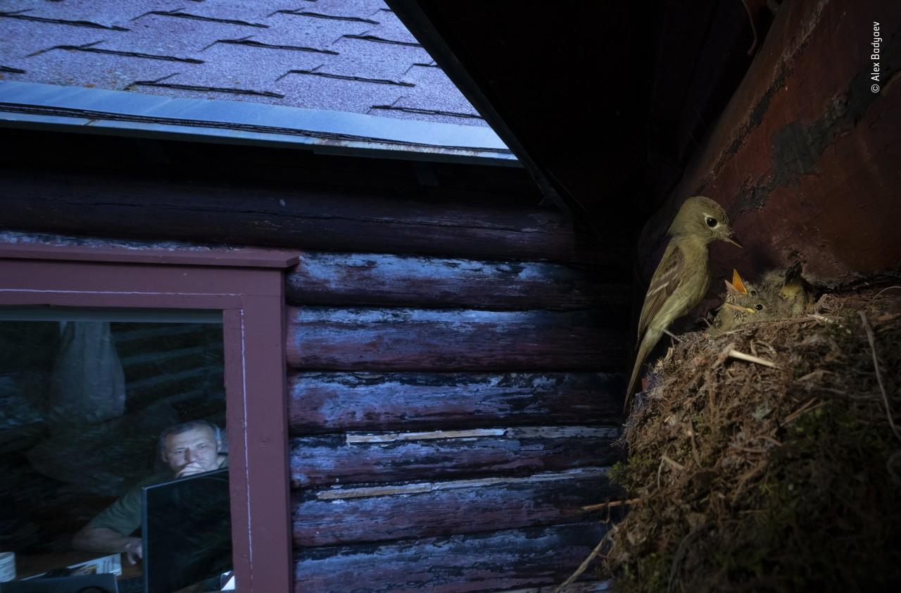 Победитель в категории «Городская живая природа», 2020. Гнездо мухоловки. Автор Алексей Бадяев