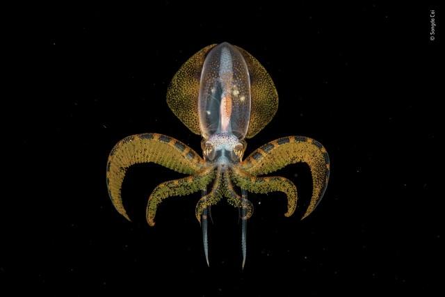 Победитель в категории «Подводный мир», 2020. Детёныш кальмара. Автор Сонгда Цай