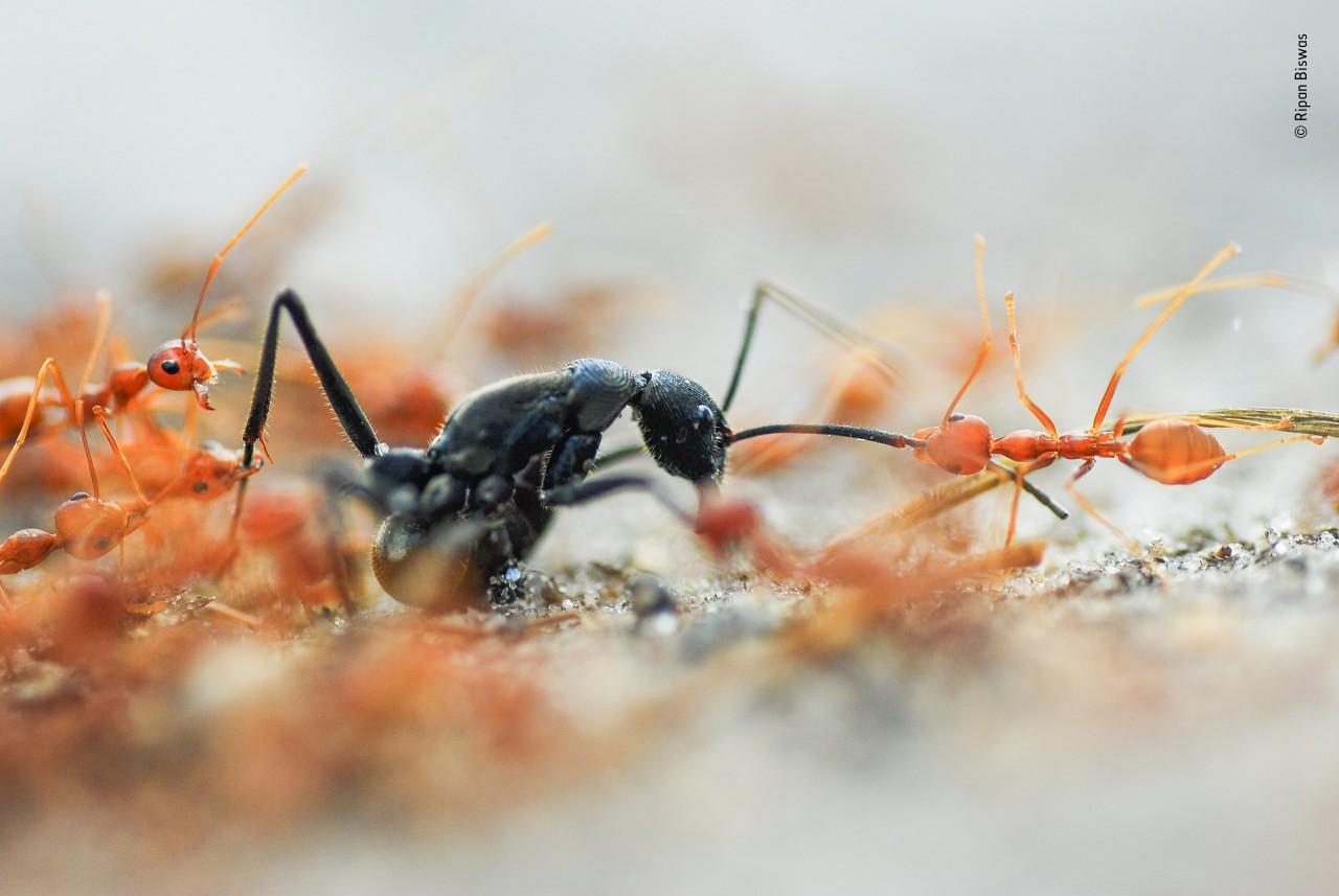 Победитель в категории «Портфолио фотографа дикой природы», 2020. «Битва муравьёв». Автор Рипан Бисвас