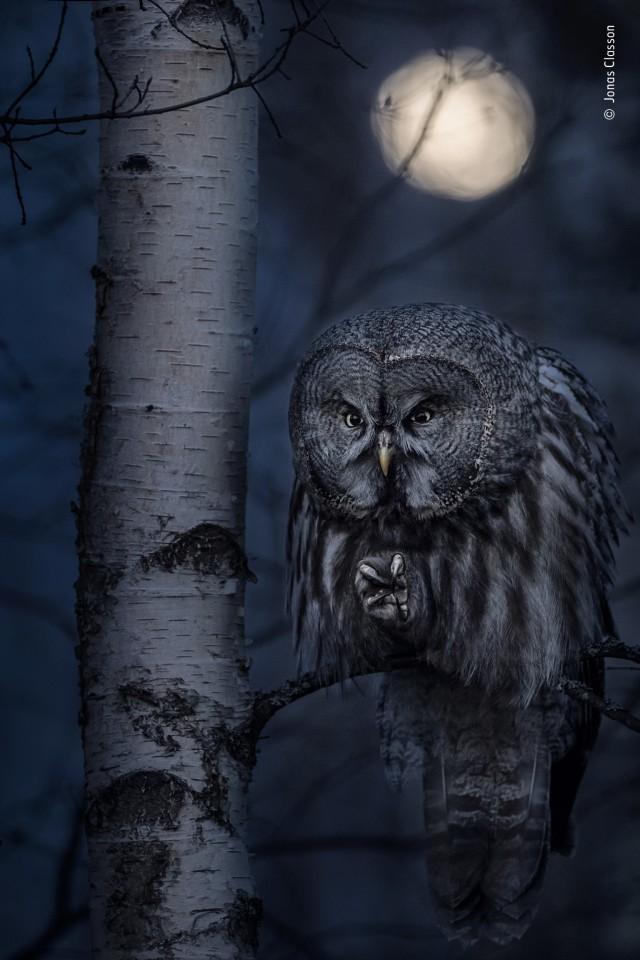 «Портреты животных», 2020. «Ночной охотник». Серая сова и полнолуние. Автор Йонас Классон