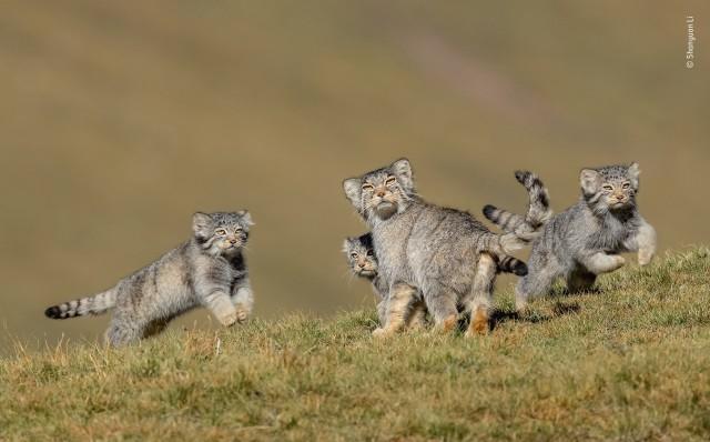 Победитель в категории «Поведение: Млекопитающие», 2020. Палласовы коты (манулы) в степях Цинхай-Тибетского плато. Автор Шаньюань Ли
