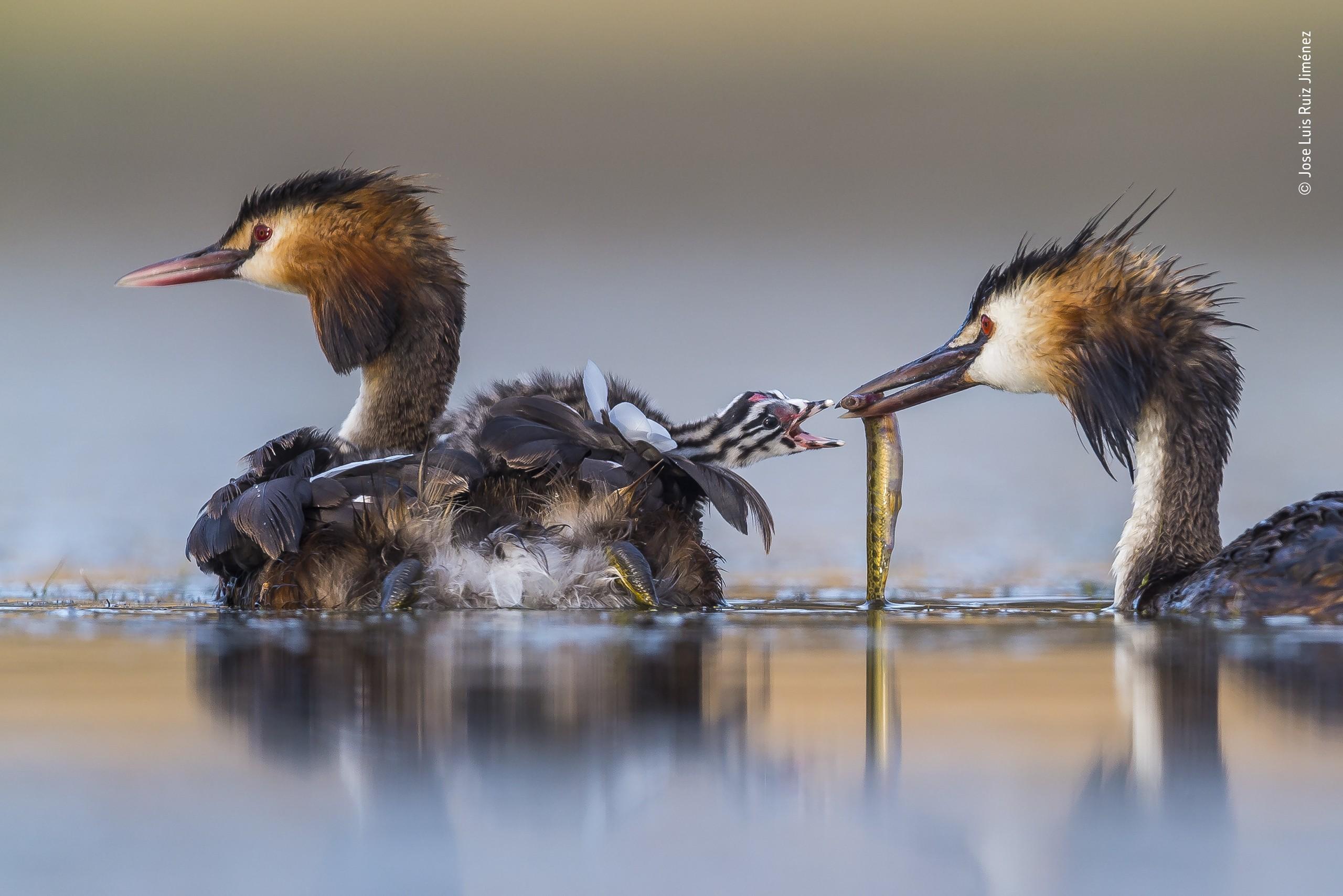 Победитель в категории «Поведение: Птицы», 2020. Кормление в семье больших поганок. Автор Хосе Луис Руис Хименес
