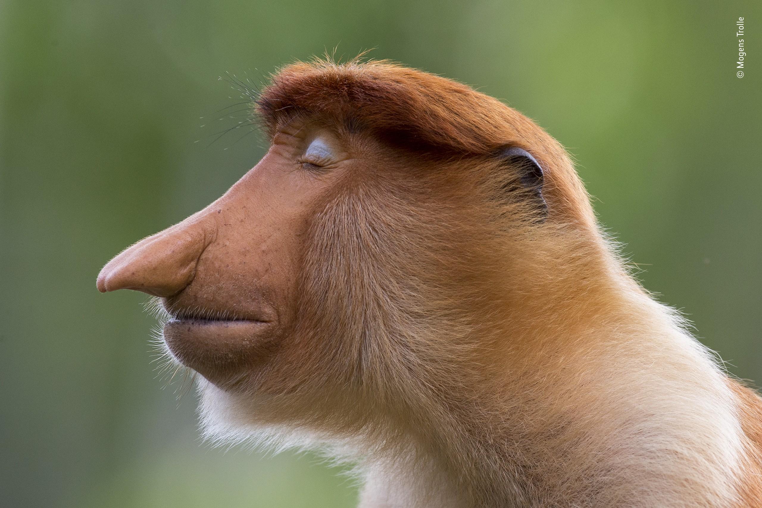 Победитель в категории «Портреты животных», 2020. Носач, кажется, медитирует. Автор Могенс Тролль
