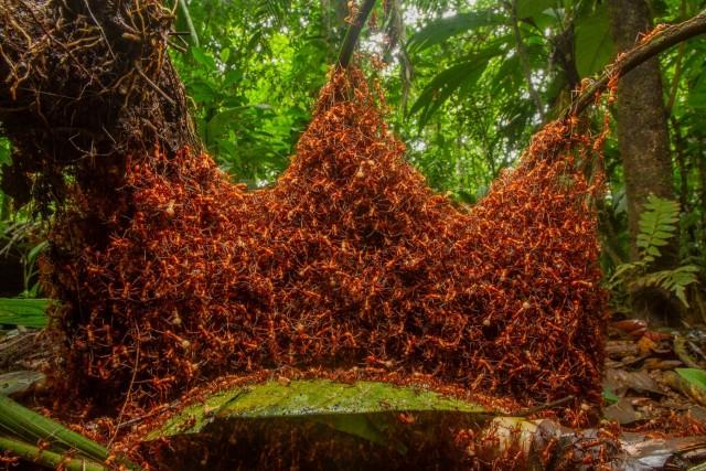 «Архитектурная армия». Колония армейских муравьёв в Коста-Рике. Победитель в категории «Поведение беспозвоночных». Автор Даниэль Кронауэр